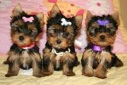 excited lovely AKC .pedigree Puppies ready yorkie puppies